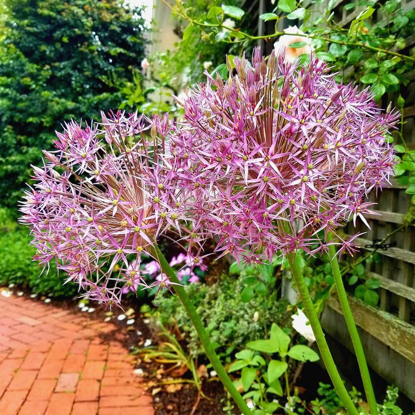 Allium flowers.