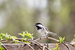 Blackcapped Chickadee perching on a branch