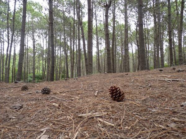 pinas y pinos