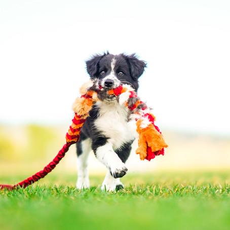 Border x Pap and Papillon Puppy Session
