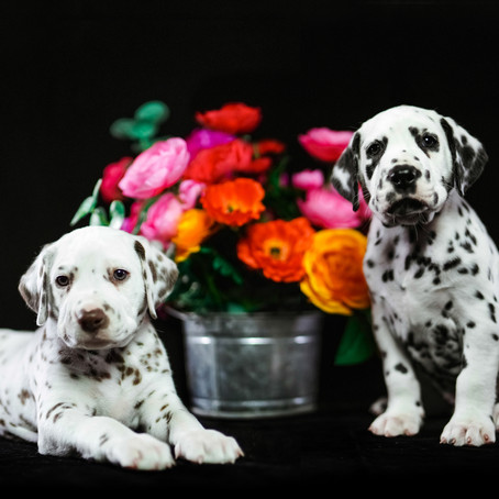 Dalmatian Puppy Studio Session