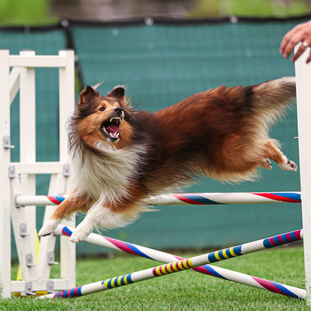 AKC Agility Trial September 10th