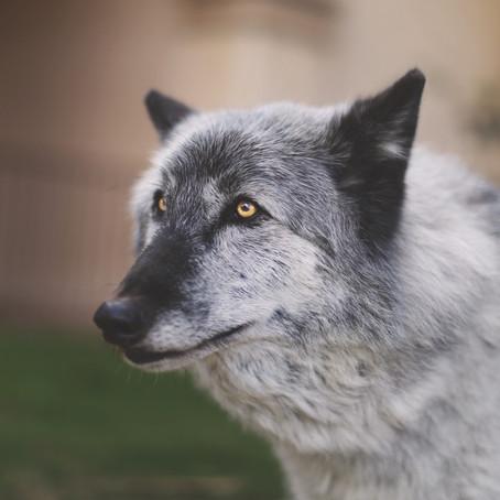2017 Wolfdog Walk: San Diego