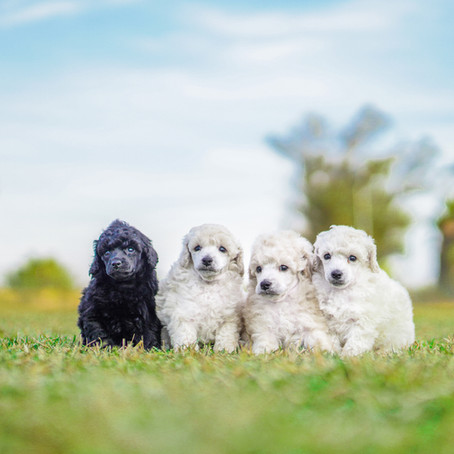 Poodle Puppy Session