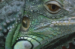 Eye Iguana