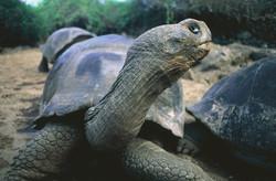 Galapagos Tortoise II