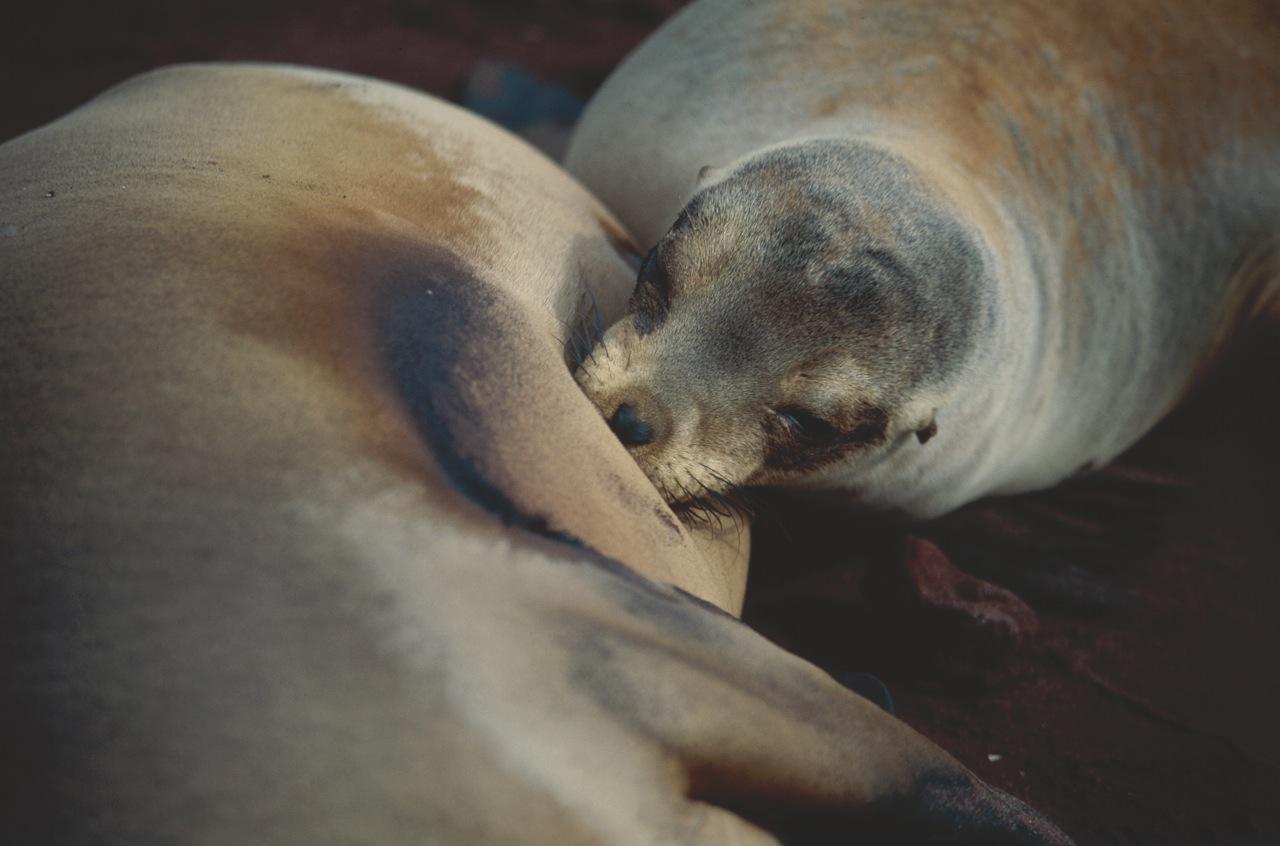 Suckling Sea Lion