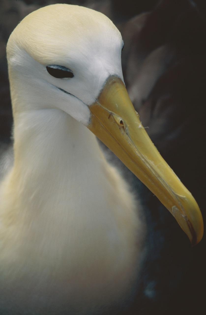 Portrait of an Albatross