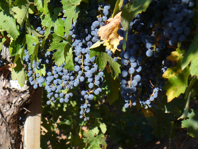backyard-harvest13 057