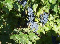 backyard-harvest13 062