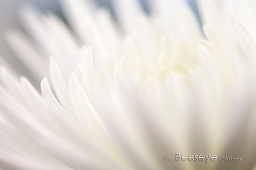 Two-tone abstract image of a chrysanthemum, an alternative view of something we might think of as unexceptional, natural sunlight streams through giving an opalescent glow to this delicate, refined image, image with an Art Deco feel, works well as a made to measure canvas wall art print to add a subtle touch of classic Hollywood glamour to any room
