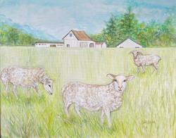 Didoha, Judy-Spring Sheep