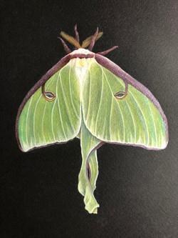 Coleman_Karen_Luna Moth_colored pencil a