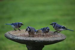 Shervin, Cheri-Bluejays in Feeder