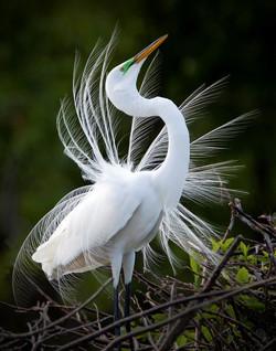 Nevitt. Jack-Showy Egret