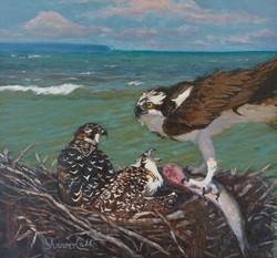CallSharon Osprey Feeding Oil_