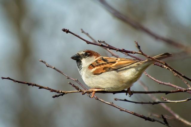 Schneider, Paul-Sparrow in a Tree