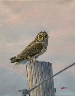 Walsh, William-Short-eared Owl