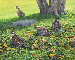 Walsh, William-Covey of Quail
