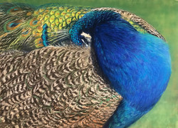 Goll, Lori-Sleeping Peacock