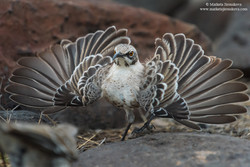 Jirouskova_Marketa_Galapagos_Mockingbird