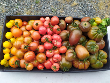 Heirloom tomato starts and more