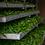 Thé blanc bio aux géranium