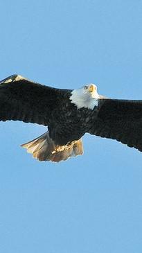 st-martins-new-brunswick-bald-eagle.jpg