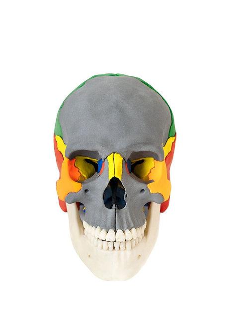 Czaszka ludzka (12 częściowy model anatomiczny)