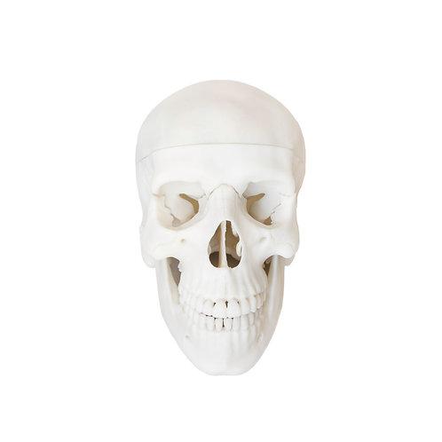 Czaszka ludzka (4 częściowy model anatomiczny)