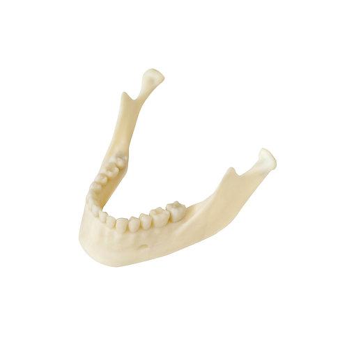 Żuchwa (model anatomiczny)