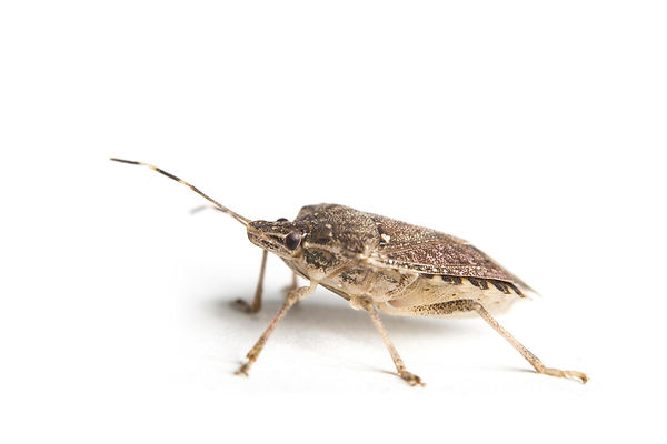 brown-marmorated-stink-bug-on-white-back