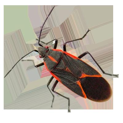 box-elder-bug.png