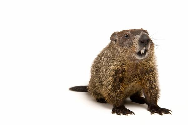 groundhog_02.webp