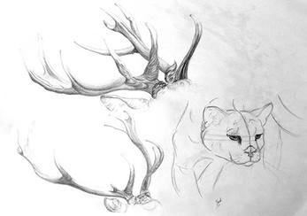 Etude au crayon graphite Bois de cerf et puma