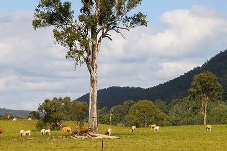regional scene, cows, sheep, tree