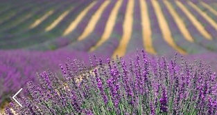 Lavender for website .jpg