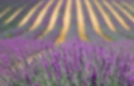 Lavender for website  - square.jpg