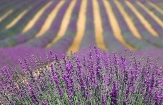 Lavender for website  - square.jpg