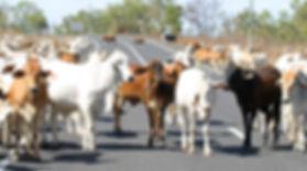 Cattle_Cooktown.jpg