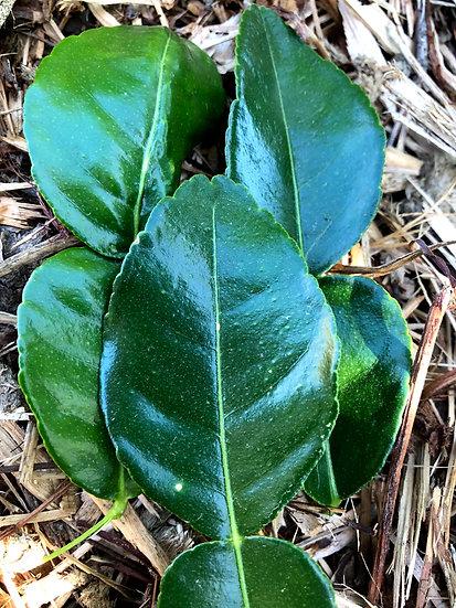 Makrut (Kaffir) Lime Leaves