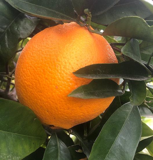 Honey Murcott  Mandarins
