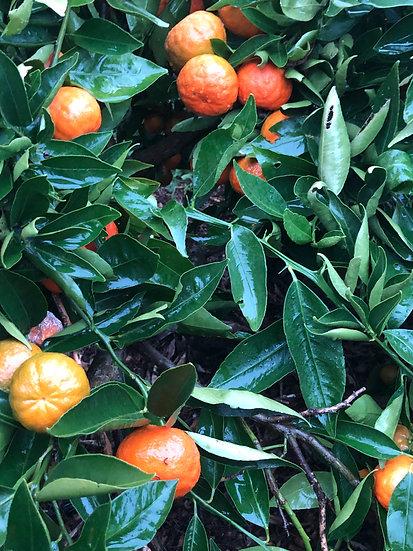 Yosemite Gold  Mandarins