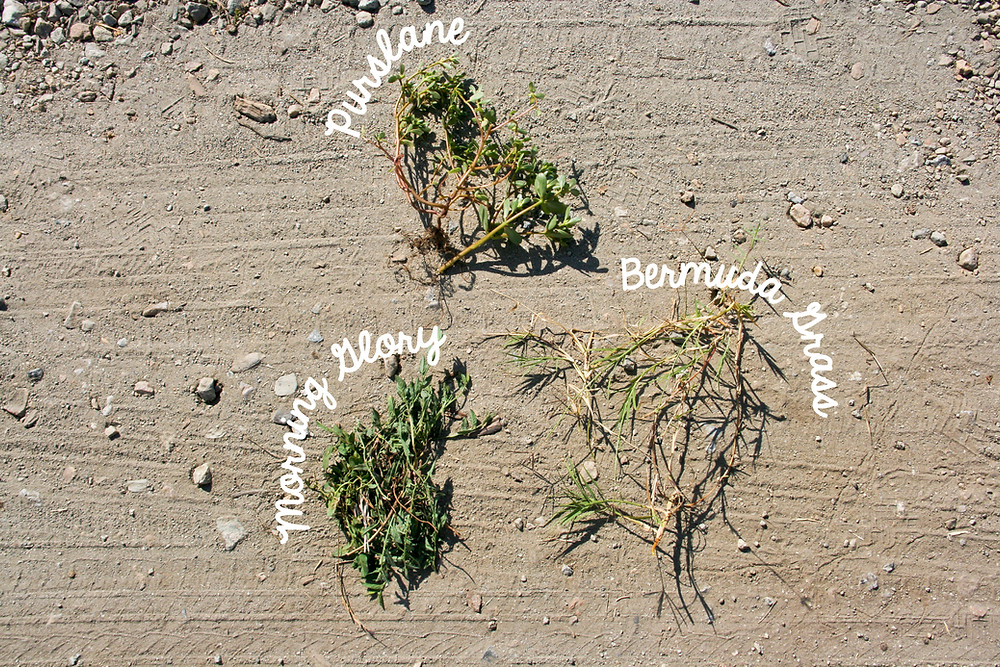 weeds labeled.jpg