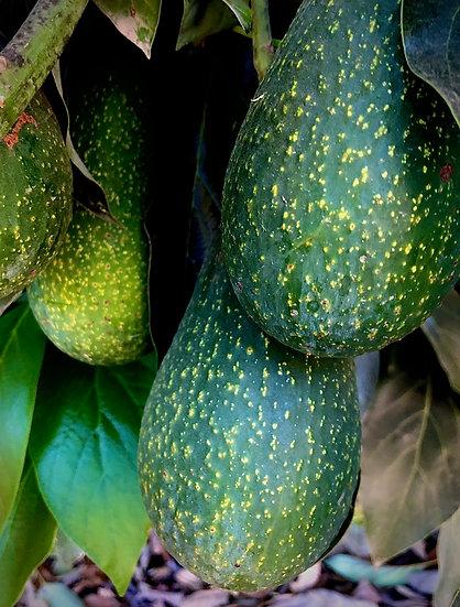 Sharwil Avocados