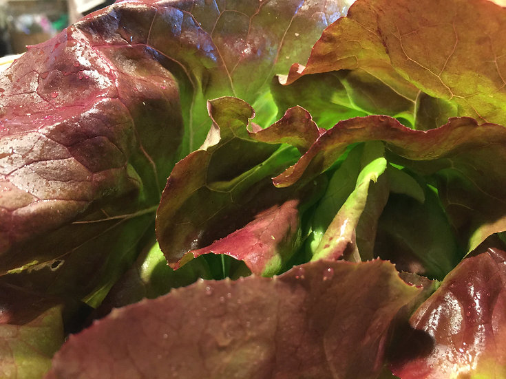 Red Butterhead Letutuce