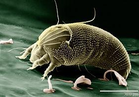 mikroskopisk husstøv mide