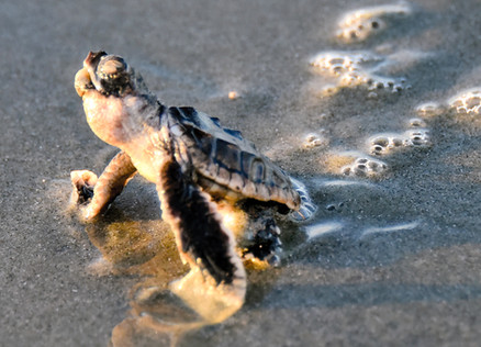 Hatchling's first rays.