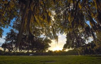 Under the oaks.