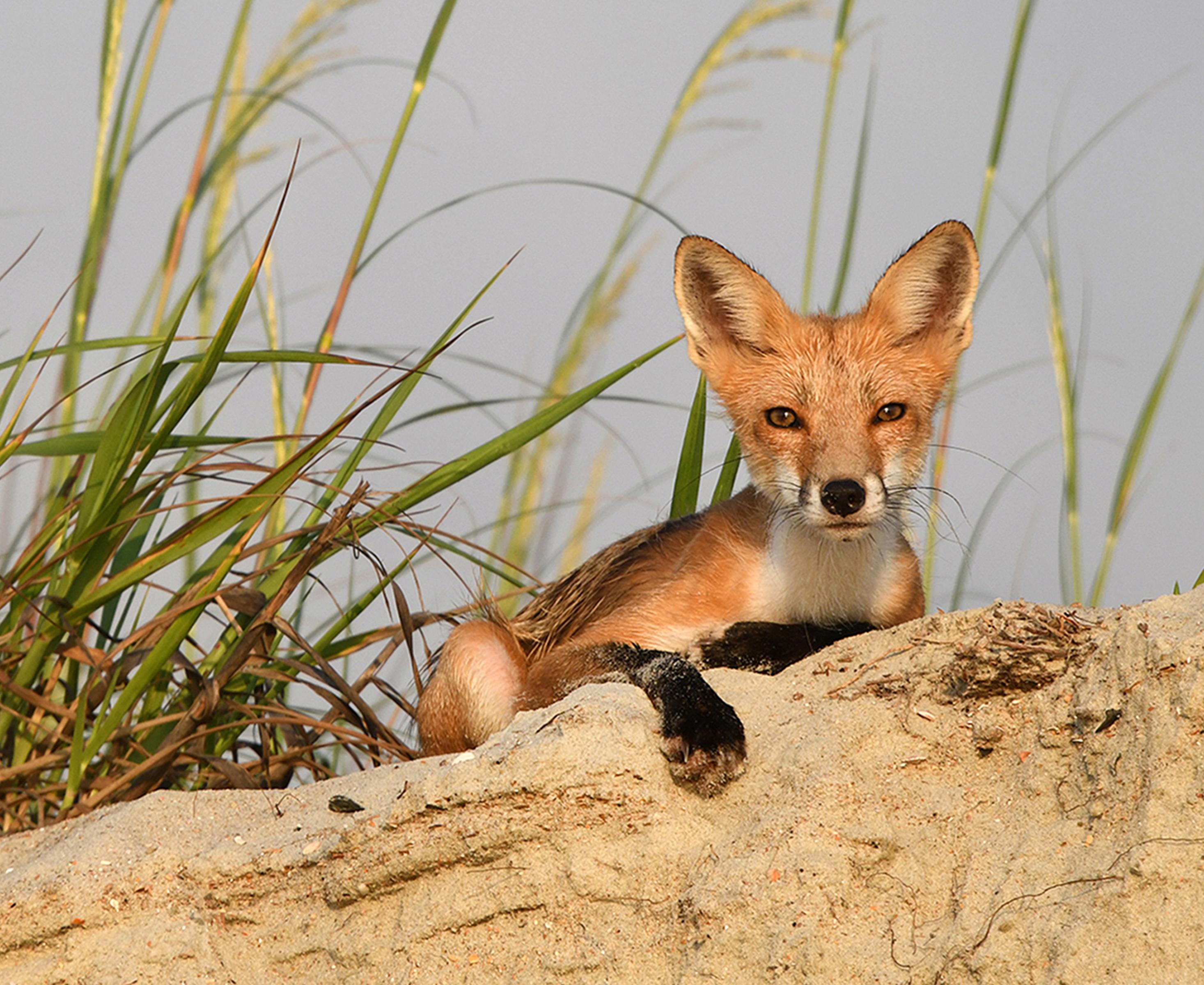 fox*-16.5x13.5newcrop